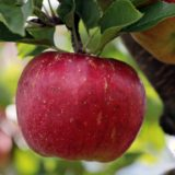Apple Can Cause IBS Symptoms